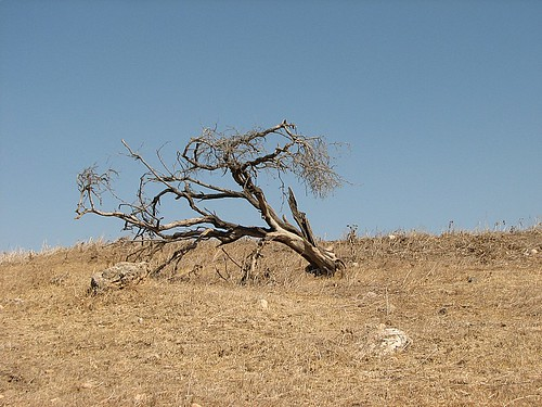 dead tree near gazit | by ilan sharif