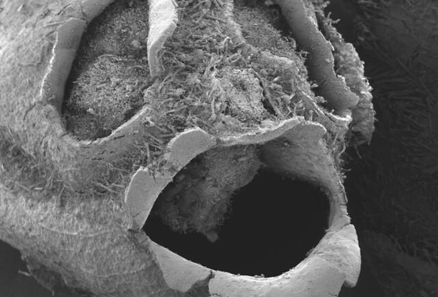snapdragon seed pod ECRP