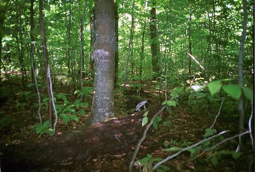 newyork turkeyvulture cathartesaura largebirds taxonomy:common=turkeyvulture taxonomy:species=cathartesaura siwild:study=adirondackcarnivoresurvey siwild:studyId=adksets geo:locality=northamerica sequence:index=1 sequence:length=1 taxonomy:group=largebirds siwild:date=200109011242000 siwild:trigger=adkimg804 siwild:imageid=adkimg804 sequence:id=adkimg804 file:path=dpixsmi2unf722~1jpg file:name=unf722~1jpg siwild:plot=smith siwild:location=smic2 siwild:camDeploy=adkdeploy115 sequence:key=1 siwild:region=adk BR:batch=sla0620101118064407 geo:lon=44812827 geo:lat=73812581 siwild:species=132
