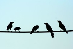 Silhoutte Crows sitting on High Voltage Cable | by Zee Chaudhry