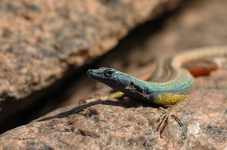 augrabies flat lizard  these are the lizards which were