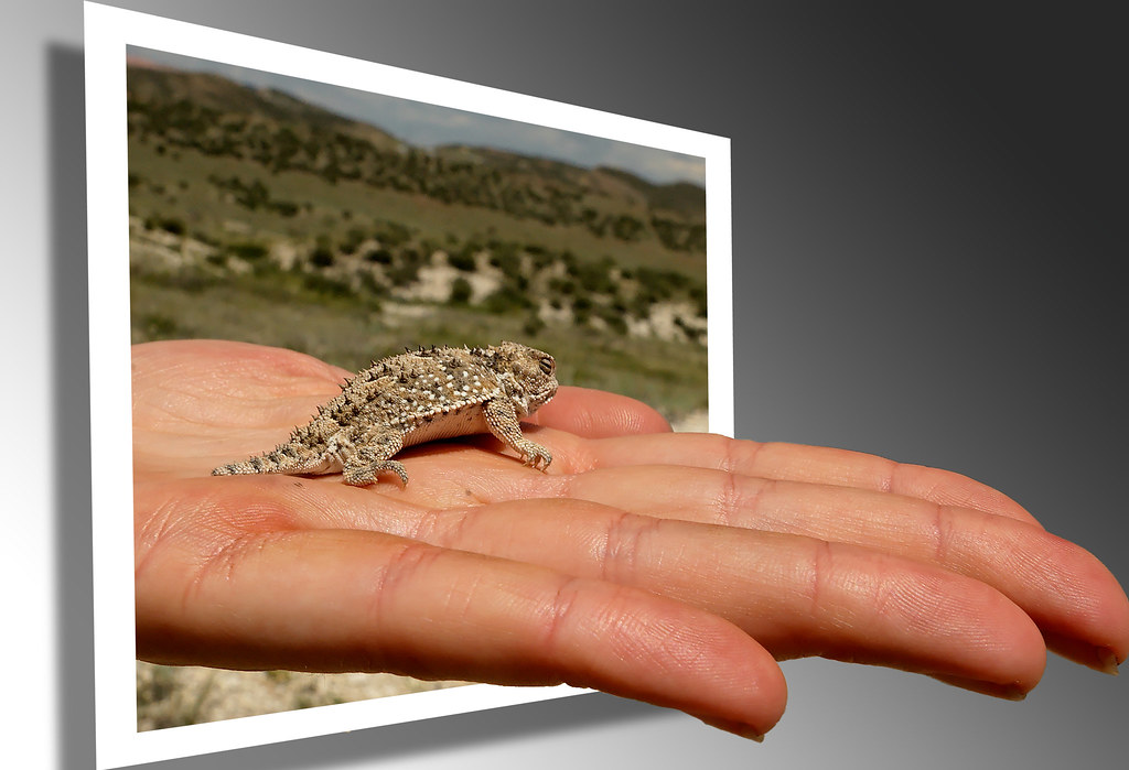 Here, have a hand... of Short-horned Lizard by Fort Photo