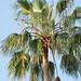 Palma Blanca - Photo (c) Tony Rodd, algunos derechos reservados (CC BY-NC-SA)