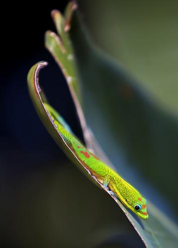 hawaii quality lizard explore superfantastique bigisland kailuakona naturesfinest youtube supershot canonef70200mmf28lisusm madagascardaygecko abigfave youtubr slipslidingaway