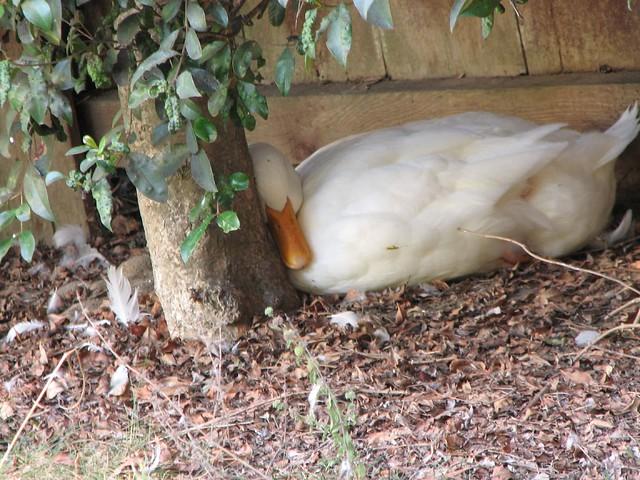 Sleepy duck leaning against a tree