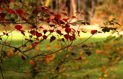 autumn red tree nature leaves yellow catchycolors landscape ilovenature louisiana seasons bokeh mrgreenjeans popcorntree gaylon tallow tallowtree yardwalk gaylonkeeling