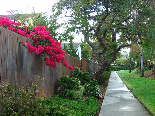 Bougainvillea Over Fence | by Randy Son Of Robert
