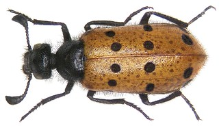 Actenodia distincta (Chevrolat, 1837)