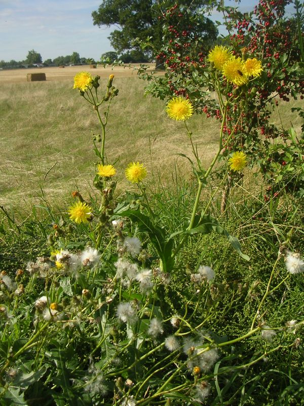 Rustic view Southbourne to Chichester Probably sow thistle