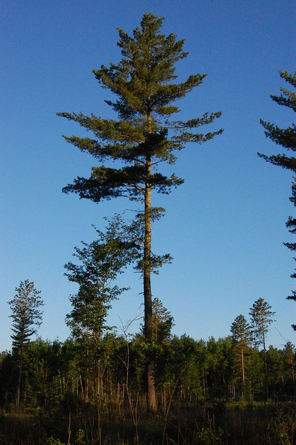Large white pine silhouette, Cloquet MN - a photo on ...