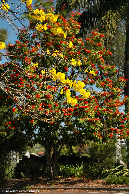 Handroanthus chrysotrichus (Tabebuia chrysotricha) - Yellow Trumpet Tree plus Alloxylon Flammeum - Tree Waratah
