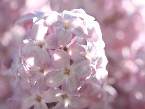 Among the Lilacs | by donsutherland1