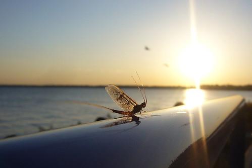 sunset lake insect