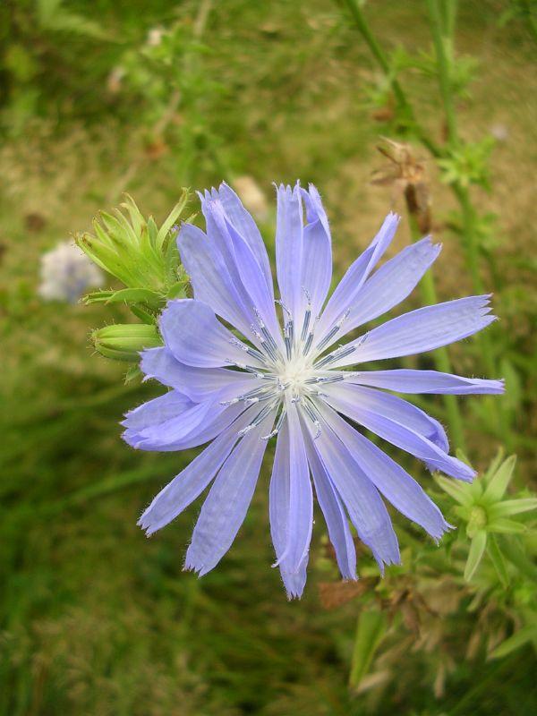 Chicory Henley via Stonor