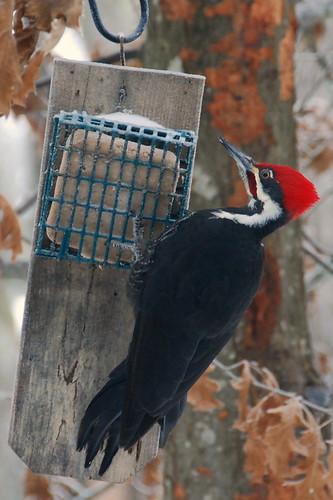 Pileated Woodpecker by skuarua