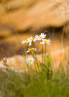 Daisies | by brentdanley