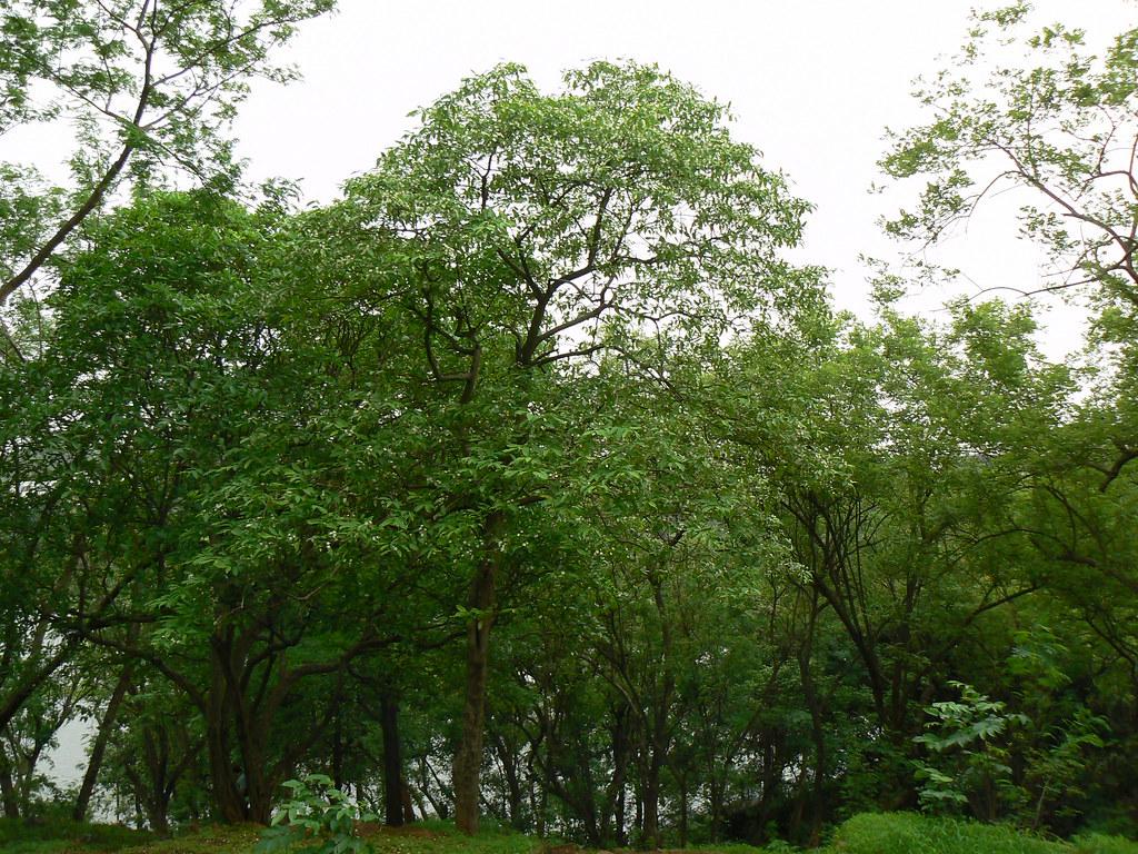 Ajamara (Kannada: ಅಜಮರ) | Apocynaceae (dogbane family