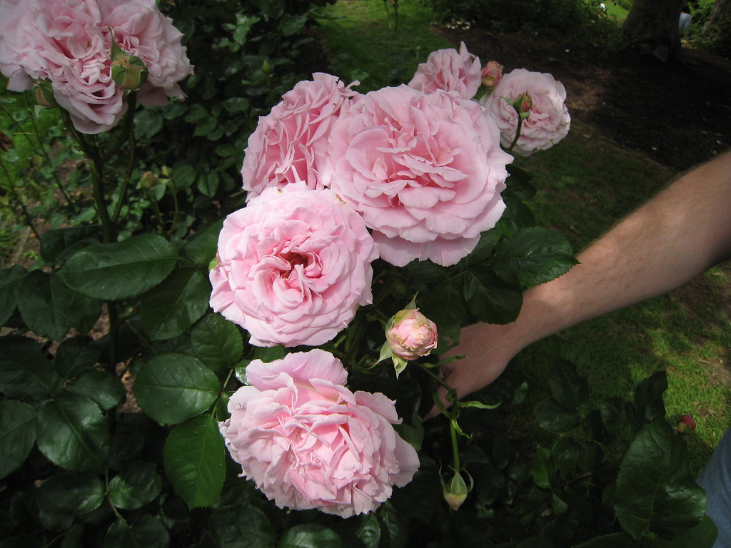 'Frederic Mistral' rose | A pink rose has to be pretty ...