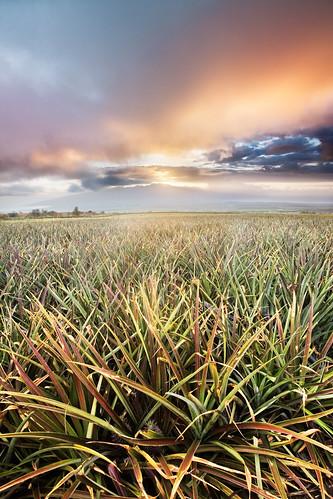 sunset sky field landscape hawaii atmosphere maui pineapple kula upcountry