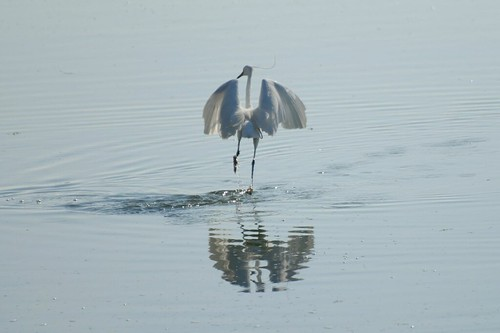 Little Egret - Dancing at Langstone | by Treescaper