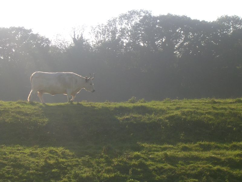 White bull With big horns. Royal Military Canal. Rye Circular