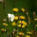 Dandelions and Butterfly by lynne bernay-roman