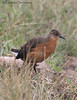 Rouget's Rail (Rougetius rougetti) by macronyx