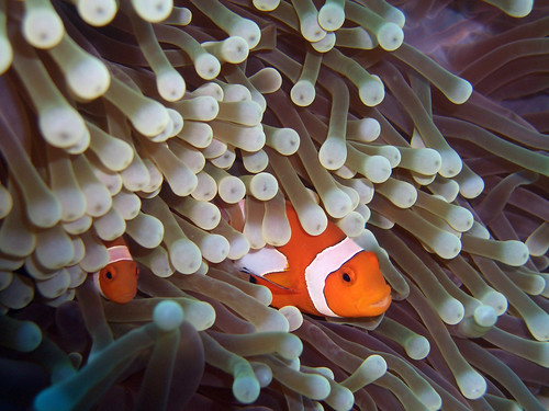 Clownfish and Sea Anemone 2 | by CybersamX