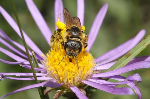 Halictus sp.   by Nico's wild bees & wasps