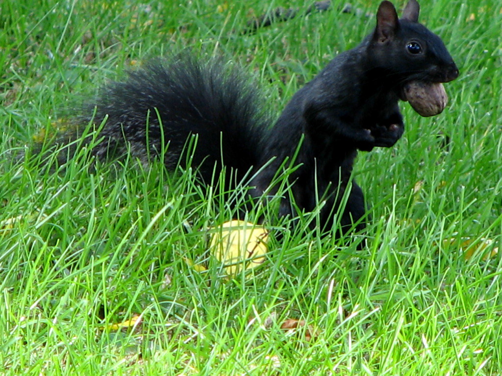 Black Squirrel Storing Up For Winter