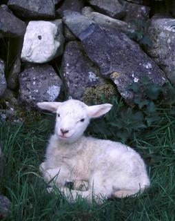 Young Irish Lamb