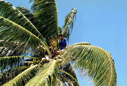 Belize 1997.5 Coconut Palm