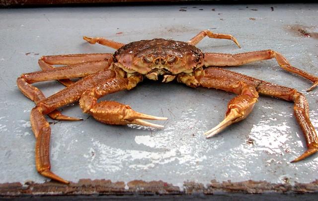 Tanner Crab (Chionoecetes bairdi)