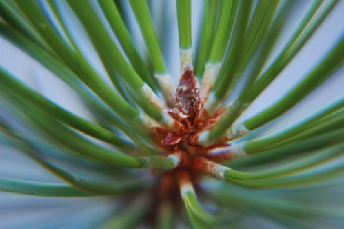 Pine Needles Close up | by Donnaphoto