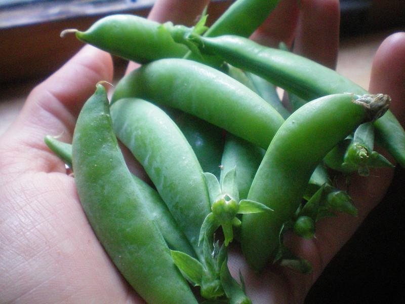 first sugar daddy snap peas