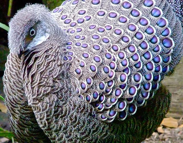 Grey Peacock Pheasant