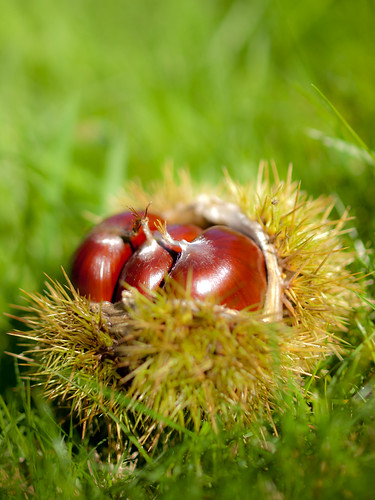 Sweet Chestnuts | by wwarby