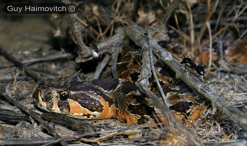 Adult Israeli Viper (Vipera Palaestinae) צפע ארצישראלי - Waiting For Prey To Come By | by HyperViper