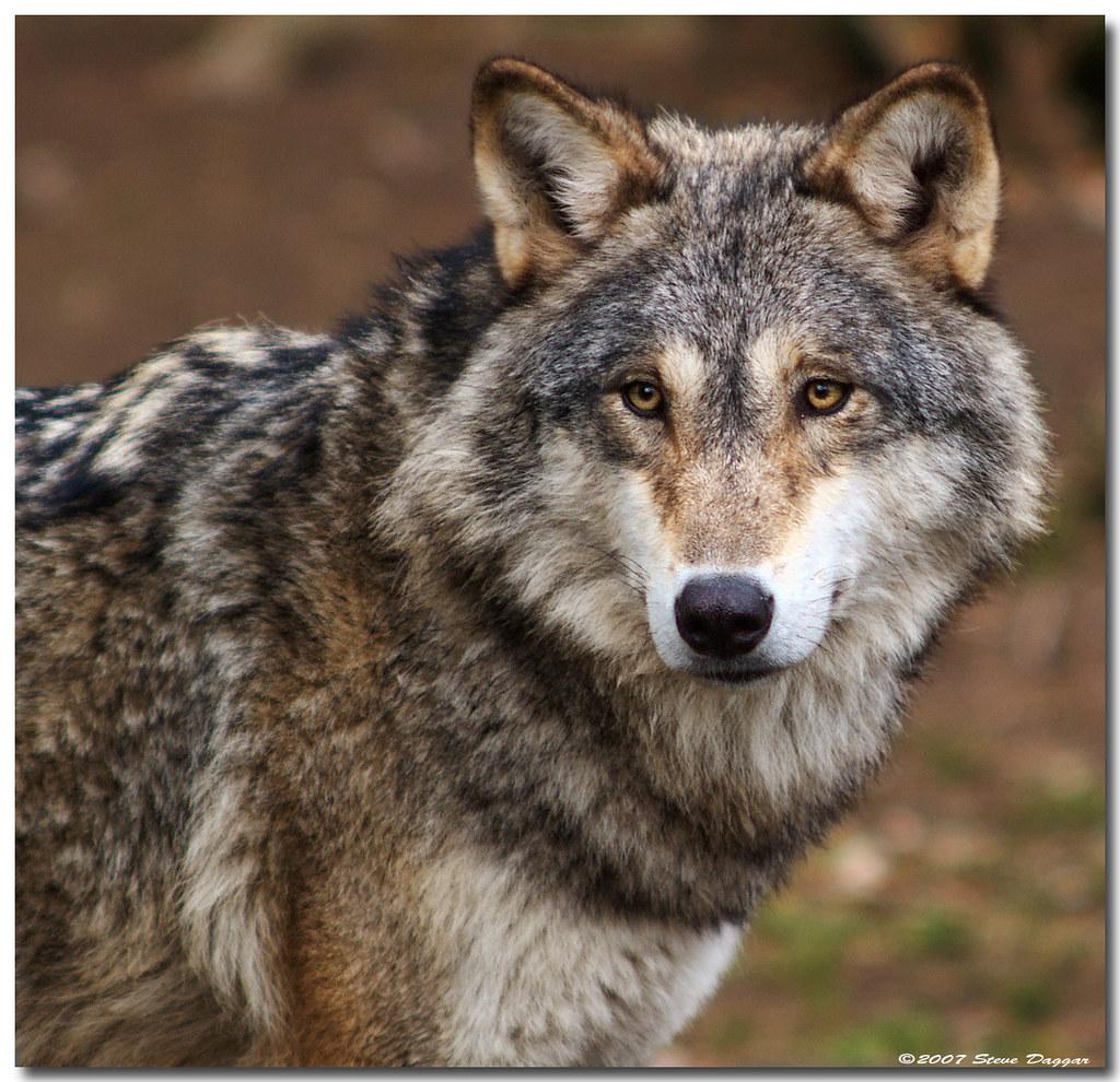 03ffd357c On Black: European Wolf, Munich Zoo by Steve Daggar [Large]