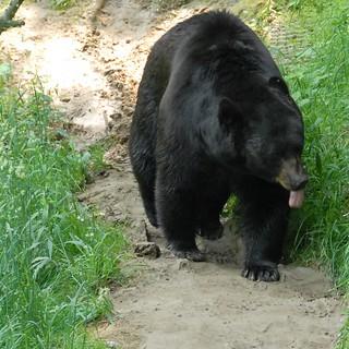 Black Bear   by guppiecat
