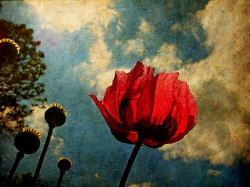 Poppy | by ToniVC