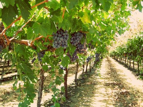 california trip shadow green leaves vines san tour purple farming corridor joaquin valley views grapes farms edible sanjoaquin excursion centralvalley ripe ranching ves sightsee seqouianatlpk