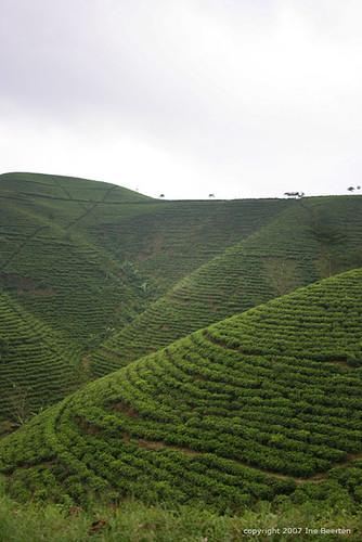 indonesia geotagged java tea plantations kemuning geo:lat=7533786 geo:lon=11102457