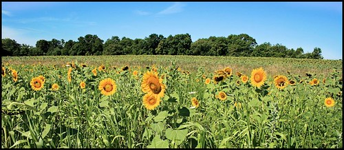Sunflower Field | by ARKNTINA