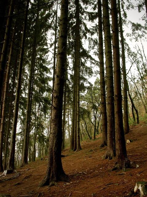 20031212_Fir-trees