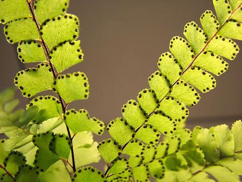Maidenhair Fern - Adiantum pedatum 'Japonicum' | by Cheryl Moorehead
