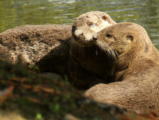 My Otter Neighbors!