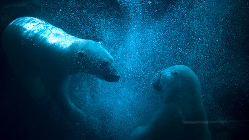 Polar Bear Redux | by feverblue