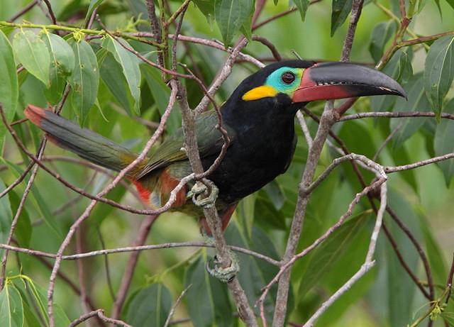 Araçari-negro  (Selenidera piperivora) - male