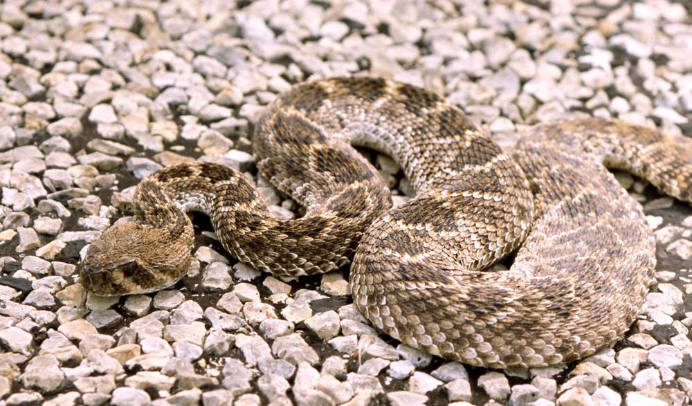 Western Diamondback Rattlesnake, central Texas